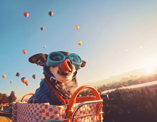 an adorable chihuahua in a bicycle basket at a hot air balloon launch fesival at sunrise licking his nose and wearing a knitted sweater and goggles, toned with a retro vintage instagram filter