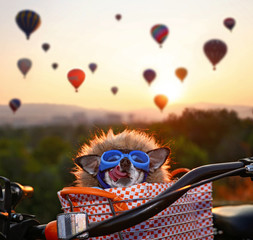 an adorable chihuahua in a bicycle basket at a hot air balloon launch fesival at sunrise licking his nose and wearing a faux fur lined jacket and goggles, toned with a retro vintage instagram filter