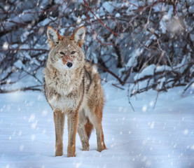 a coyote on a snow covered pond in the middle of winter