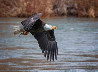 an eagle searching for food