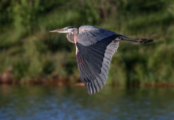 a great blue heron flying over the water in a local wildlife park after fishing