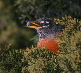 a robin eating a berry from a juniper bush