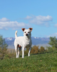 cute white chihuahua with goggles on enjoying a warm summer day with green grass and blue sky