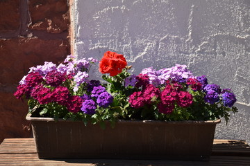 Geraniums and Picotee