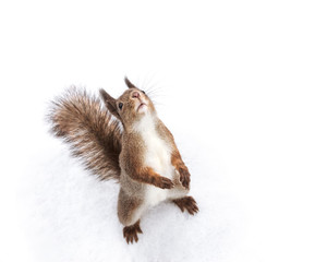 young red squirrel standing in white snow and looking upwards