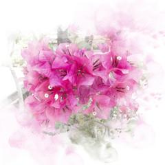 Pink blossom bougainvillea flower.