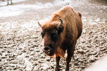 Bison during winter. European bison (Wisent, Bison bonasus) in winter forest.