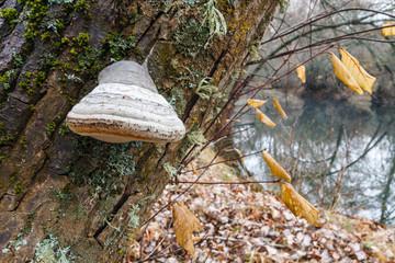 Hongo Yesquero sobre tronco de Aliso. Fomes fomentarius. Alnus glutinosa.