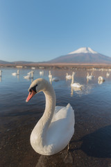 White Swan  at Lake Yamanaka with Mt. Fuji background