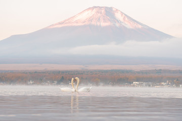 White Couple Swan feeling romantic and love  at Lake Yamanaka with Mt. Fuji background