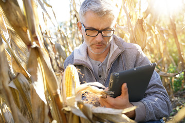 Agronomist in corn field testing quality of cereals