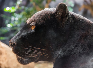 Foto auf Leinwand Panther Close-up view of a black Jaguar (Panthera onca)