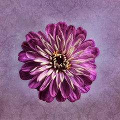 Purple Zinnia, textured background
