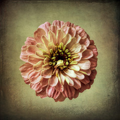 Pink zinnia, textured background