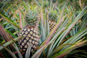 Pineapple fruit in farm