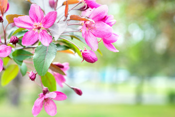 Blossom of pink sakura flowers on a spring cherry tree branch in a park