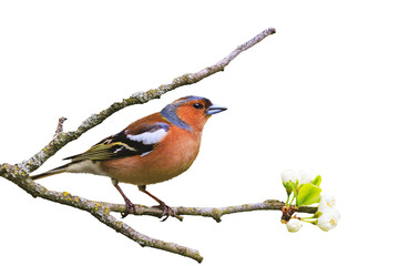 early bird sits on a branch isolated on white Wall mural