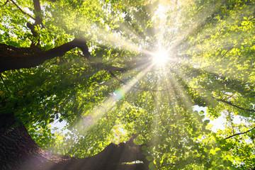 Korona liściastego drzewa w promieniach słońca