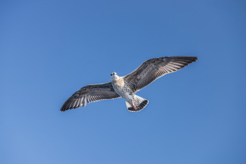 seagull bird flying view from below