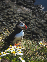 beautiful puffin with chamomiles at Latrabjarg Bird Cliffs in Iceland