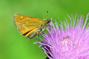 large skipper (Ochlodes sylvanus) butterfly