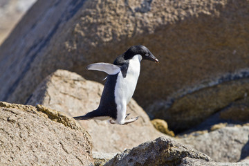 The Adelie penguin(pygoscelis adeliae)jumping from stone island Haswell