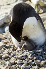 The Adelie penguin(pygoscelis adeliae)on nest with chick on cliffs of Haswell island,Antarctica