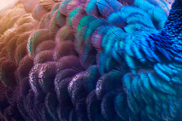 Peacock feathers blue purple Dot Pattern Blue Background