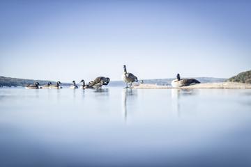 Gansos en el lago