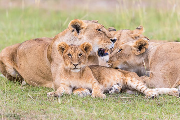 Lion Cub with adult animals, which is located on the savanna