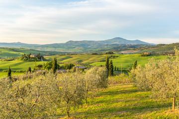 Olive trees in rural landscape