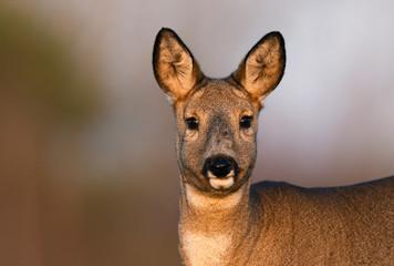 Foto auf Acrylglas Reh Roe deer (Capreolus capreolus)