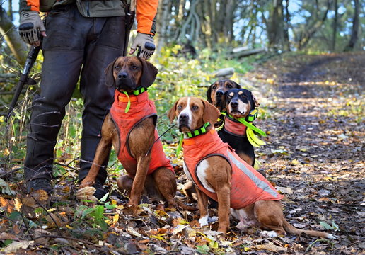 four hunting dogs waiting for a command