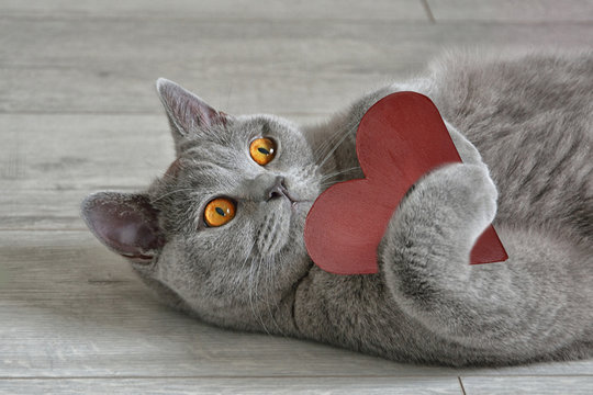 Greeting card with a British short-hair cat that holds a red heart. Valentine's Day concept.