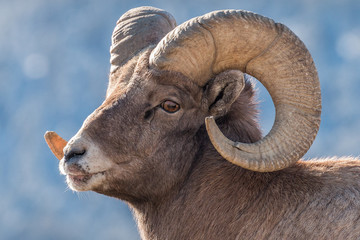 Bighorn ram during rut in Yellowstone National Park