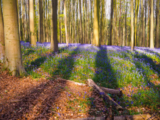 Early morning sun beams shining through bluebell and beech woodland casting long shadows on the purple carpet, Hallerbos Belgium