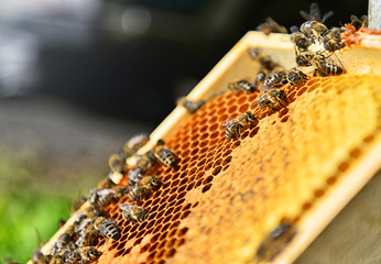 Close up of a lot of bees on the honeycomb. Blurred background on sunny day. Beekeeping concept.