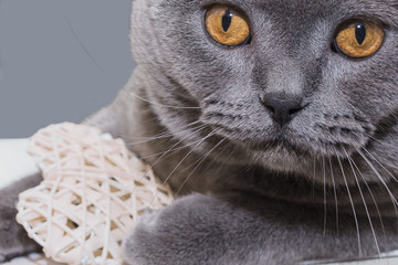 gray scottish young cat with big eyes