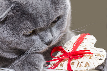 muzzle of a Scottish gray young cat with a gift