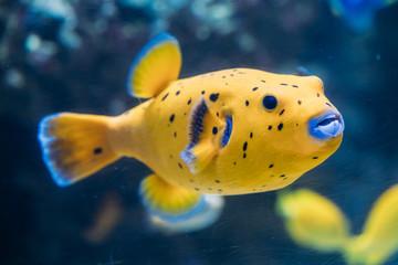 Poster Sous-marin Yellow Blackspotted Puffer Or Dog-faced Puffer Fish Arothron Nigropunctatus Swimming In Water.