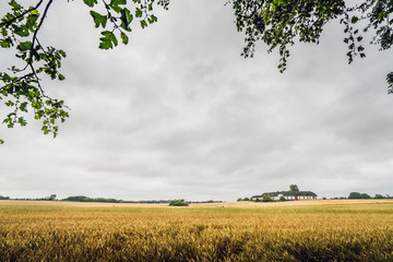 Golden grain on a rural field in cloudy weather