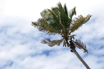 Man high up in a palm tree, cutting loose coconuts with his machete