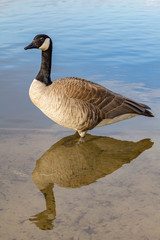 Canadian goose and his reflection.