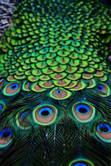 Back and Tail of a Male Peacock in Vibrant Green and Blue
