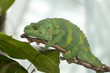A chameleon basking.