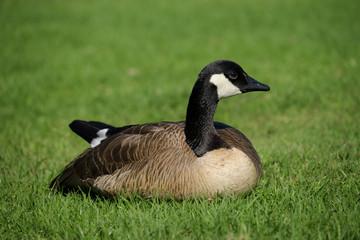 Canada Goose on Lush Green Grassy Lawn