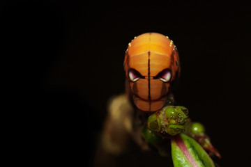 Image of Caterpillar Oleander Hawk-moth (Daphnis nerii) on tree branch on black background. Worm. Insect. Animal.