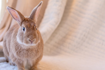 Beautiful tan and rufous domestic bunny rabbit surrounded by plush fabrics in muted palette