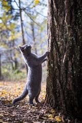 The lovely gray kitten.