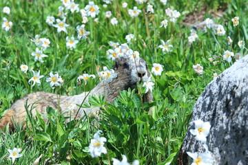A marmot amongst the wild mountain flowers